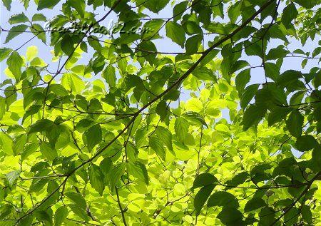 新緑の葉の透明感が凄い 晴天が続くと数日で濃くなってしまう。2