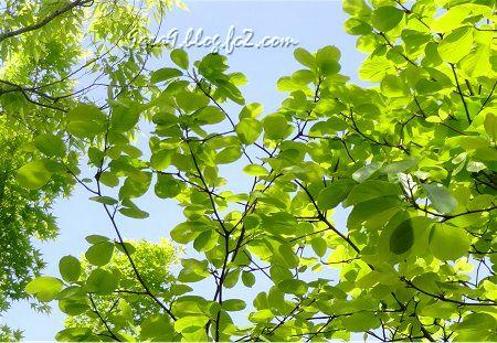 新緑の葉の透明感が凄い 晴天が続くと数日で濃くなってしまう。3