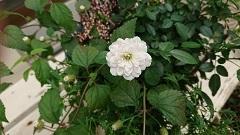 白ミニバラ