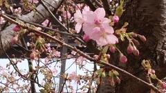 30220 河津桜