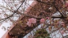 0220河津桜