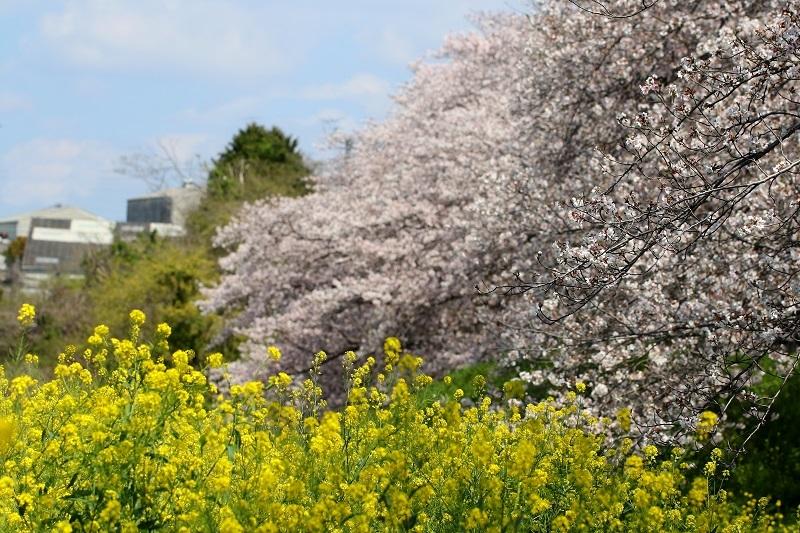 菜の花桜s