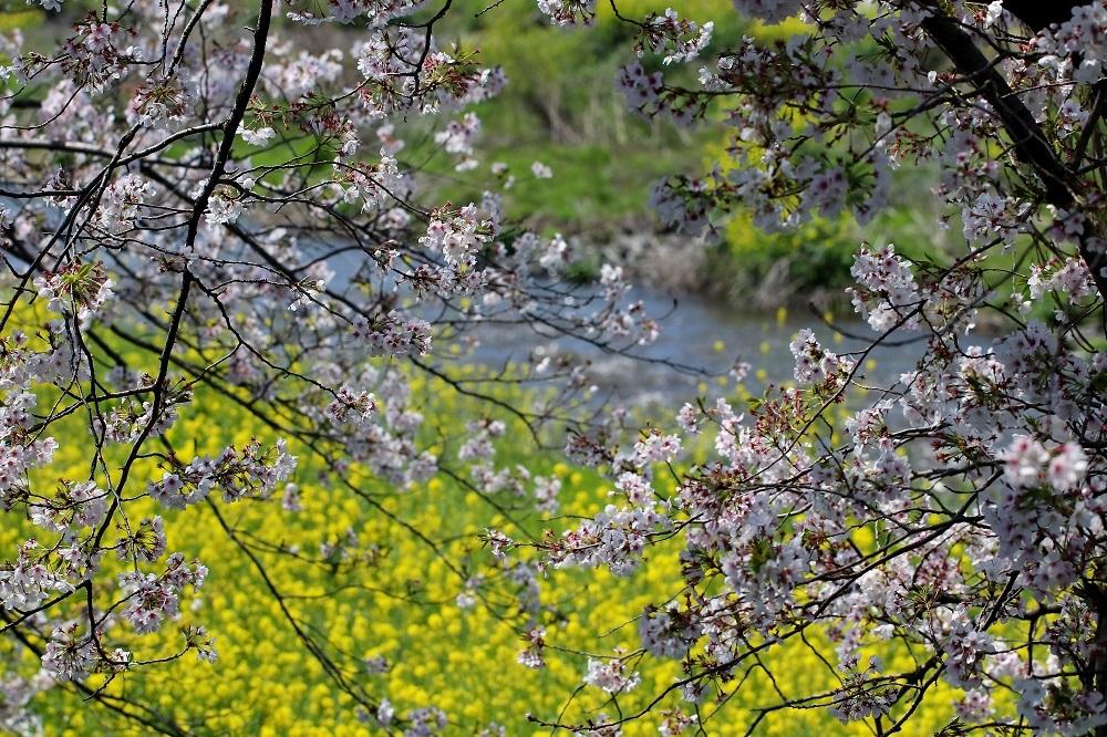 桜菜の花s