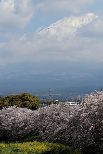桜富士縦s