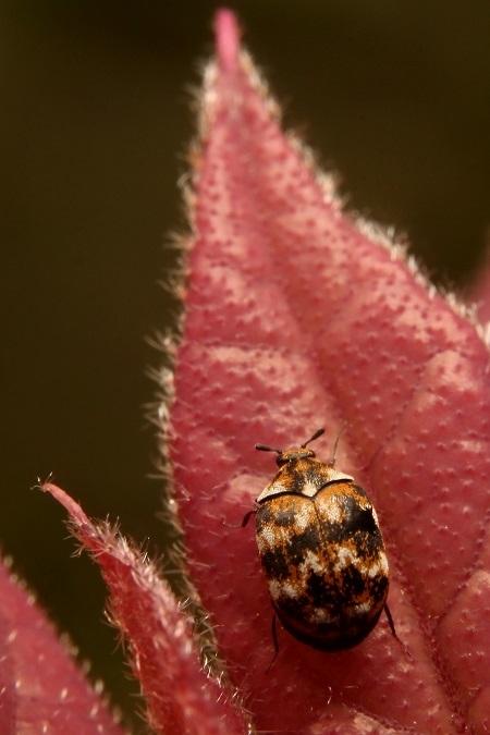 ヒメマルカツオブシムシs