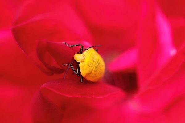 アカキン羽化バラs