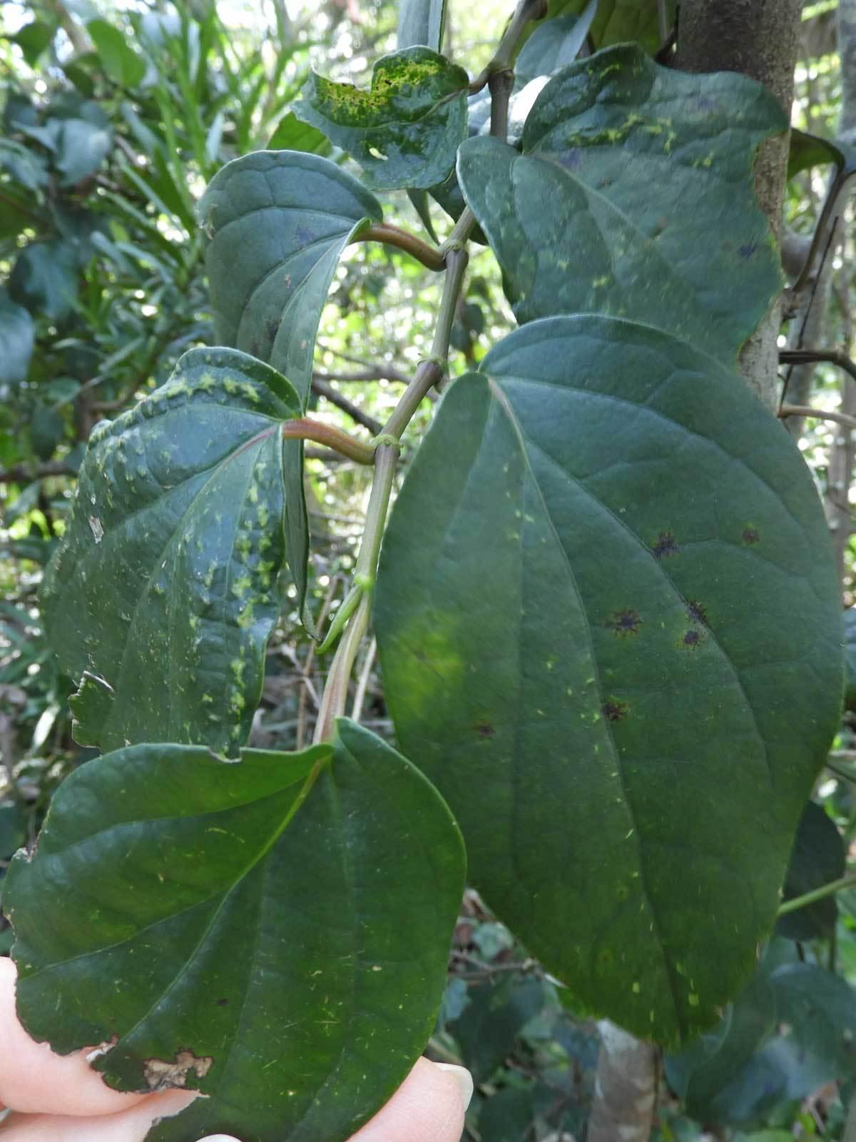 不明のつる植物