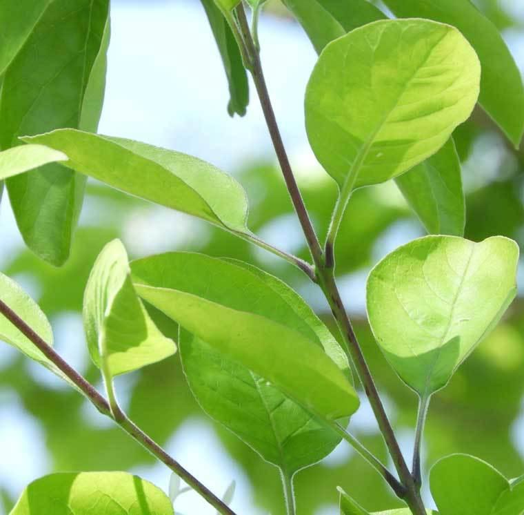 ヒトツバダゴの葉