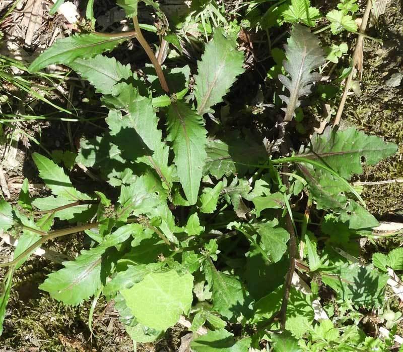 イヌガラシの根生葉