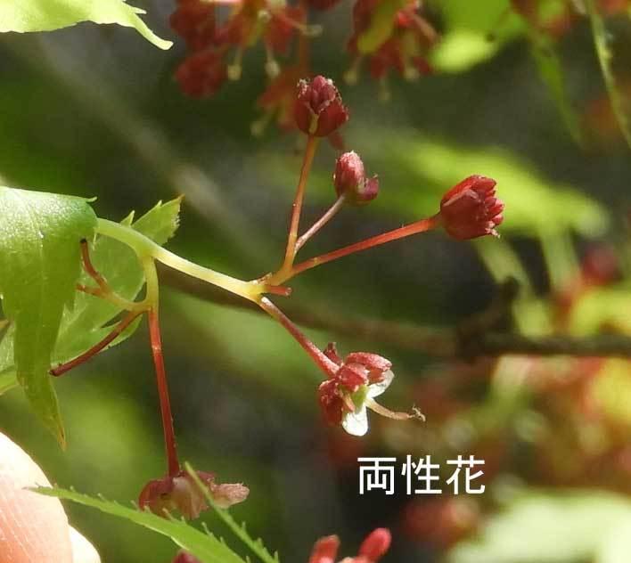 イロハモミジ両性花