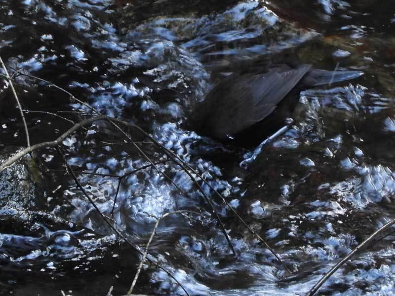 川虫を捕るカワガラス