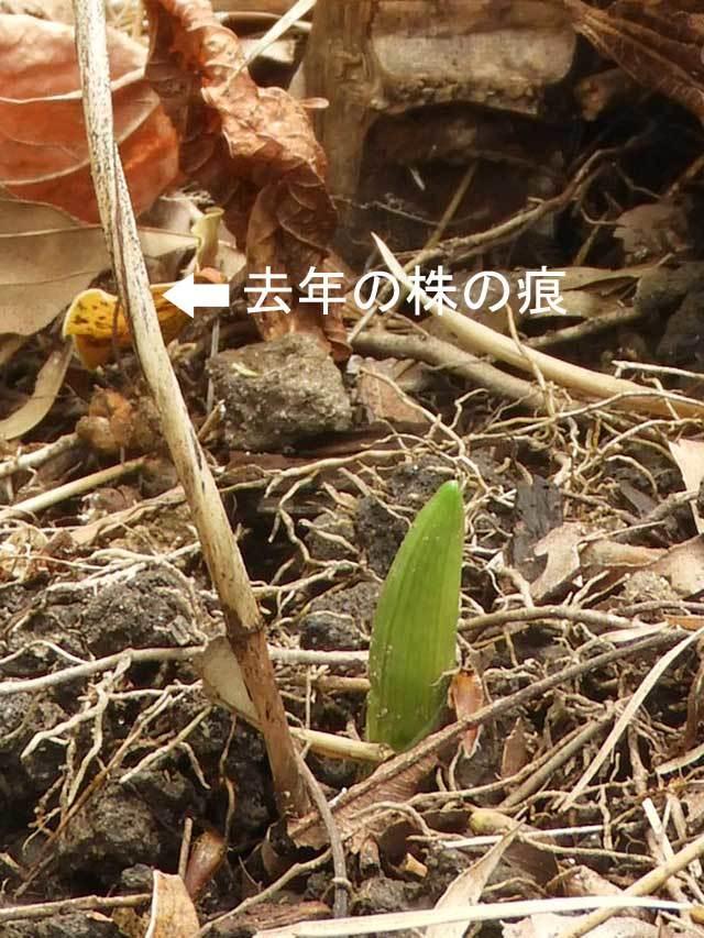 キンランの芽生え