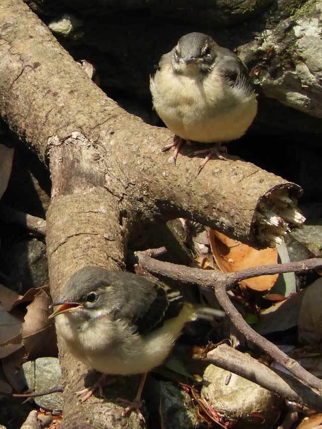 キセキレイ雛2羽