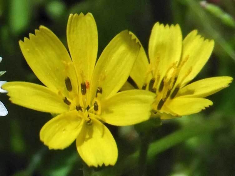コオニタビラコ花