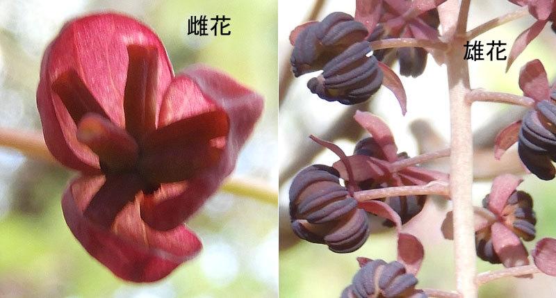 ミツバアケビ雌花と雄花