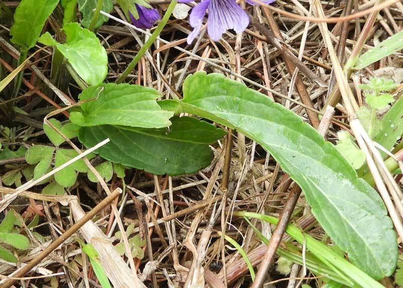 スミレの葉