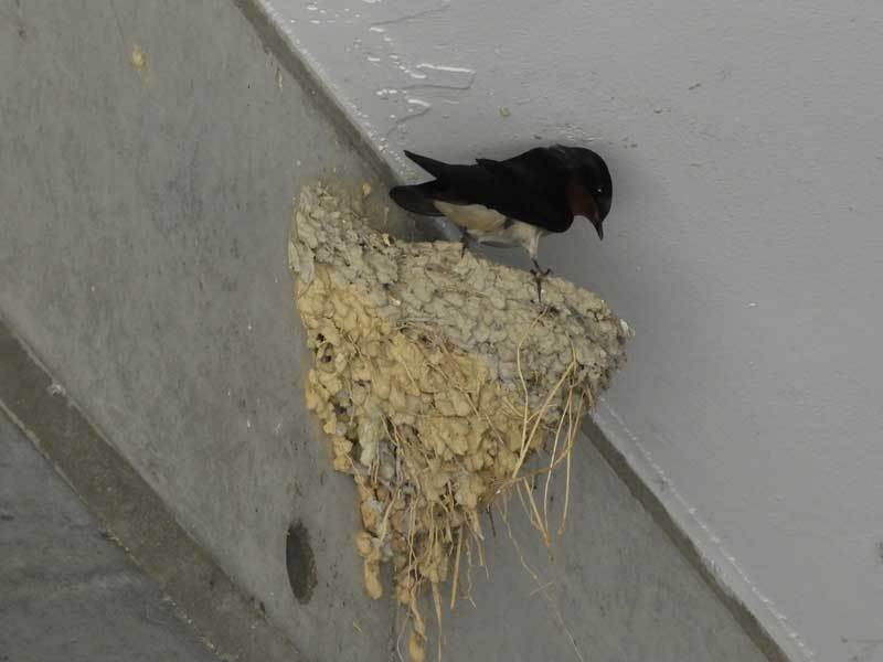 ツバメ巣を物色