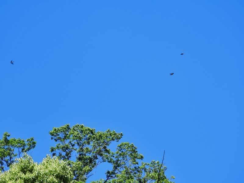 ツバメ飛翔507