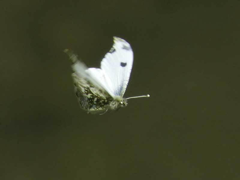 ツマキチョウ♀飛翔