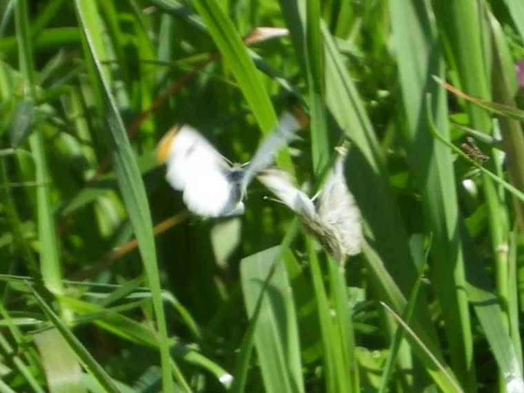 ツマキチョウ♂♀飛翔