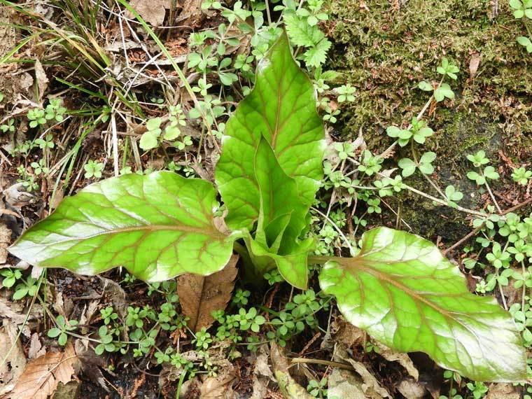 ウバユリの葉