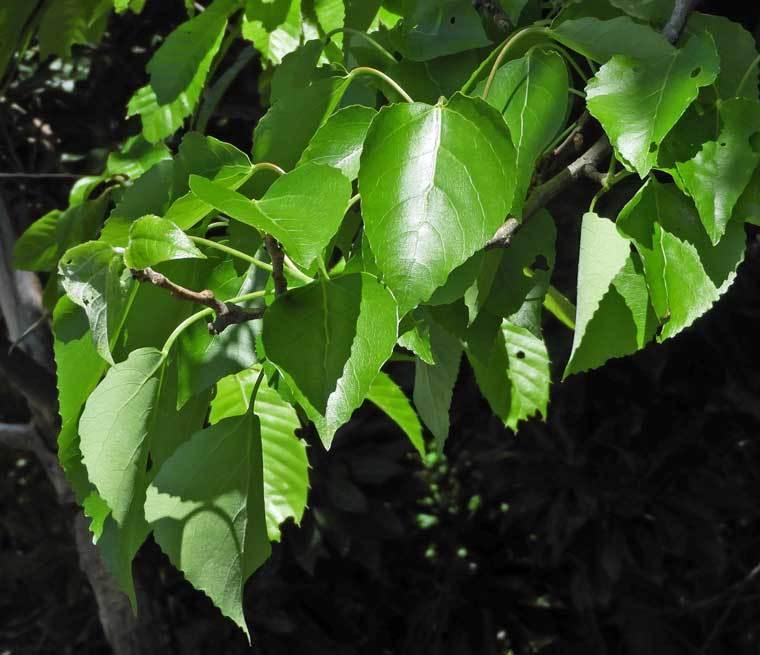 ヤマナラシの葉