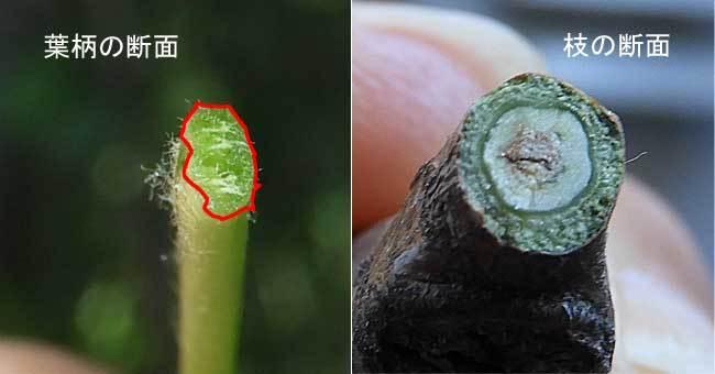 ヤマナラシの葉柄と茎の断面