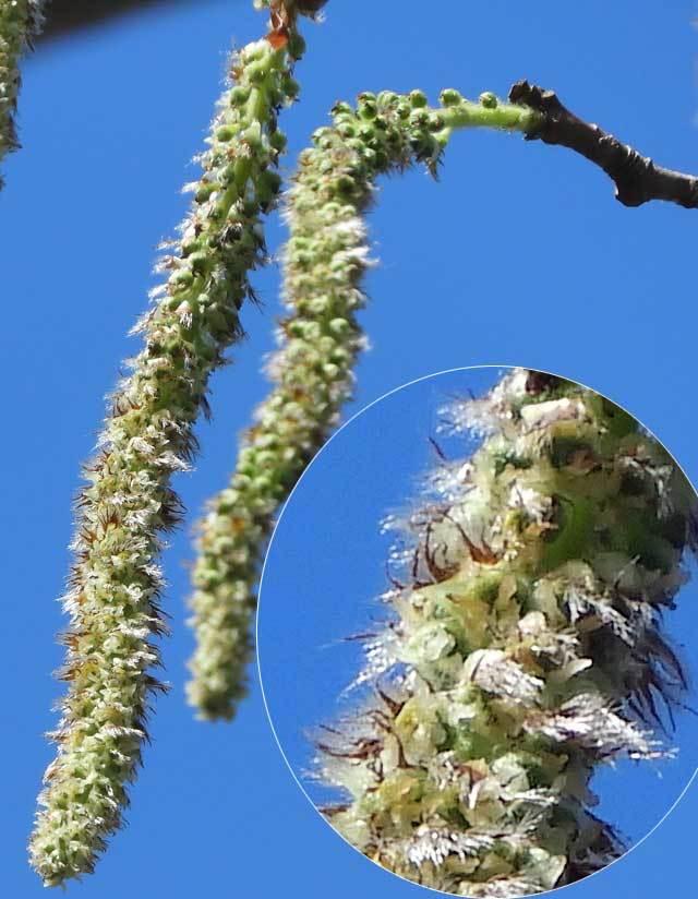 ヤマナラシ雌花