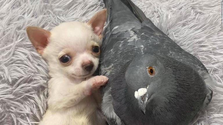 チワワとハト