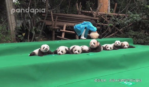 集団パンダ