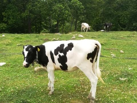 牛追い体験2019-4