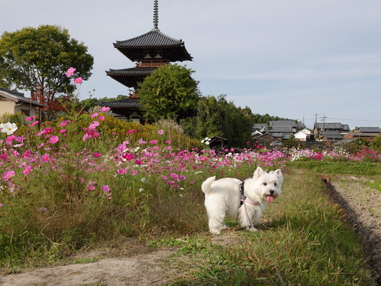 kosumosu4_20191217143038a42.jpg
