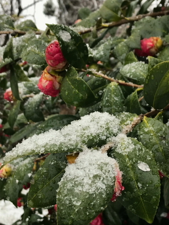 雪とツバキ