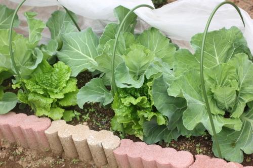 家庭菜園 キャベツ