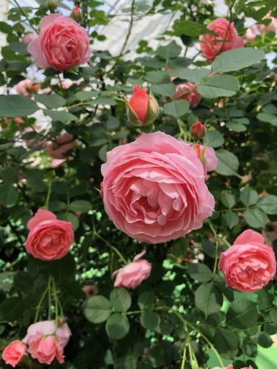 ブログ0502ロマンティックチュチュ1