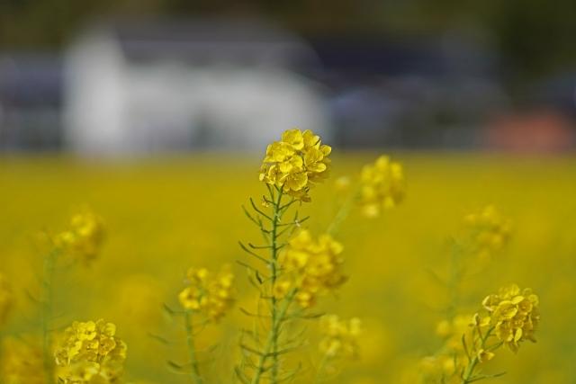 200308菜の花畑3