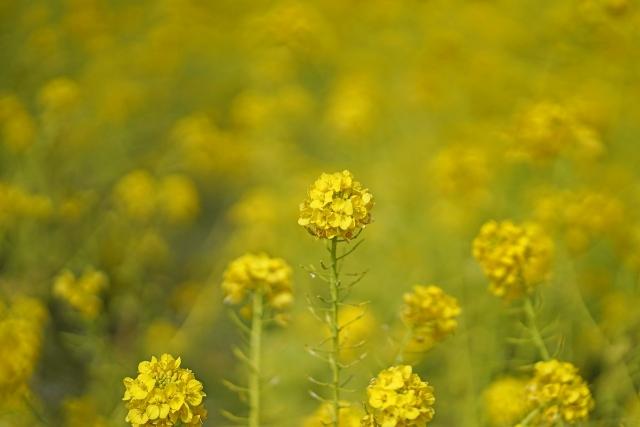 200308菜の花畑4