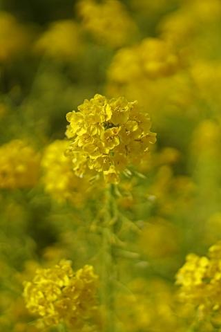 200308菜の花畑縦1