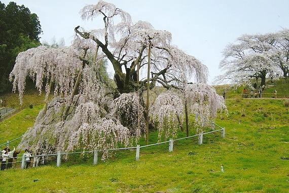 三春滝桜06_0002