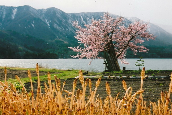 白馬桜04_0003