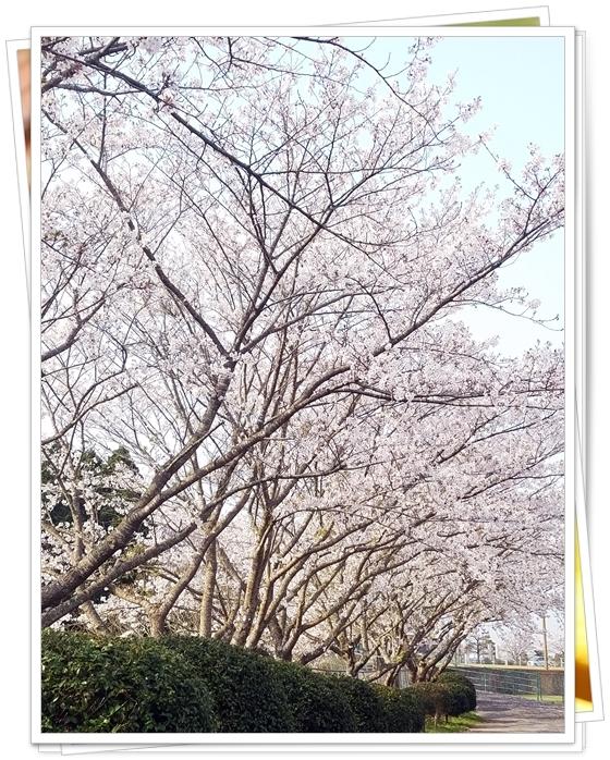 鹿児島桜2-1