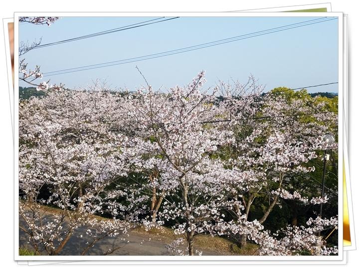 鹿児島桜2-2