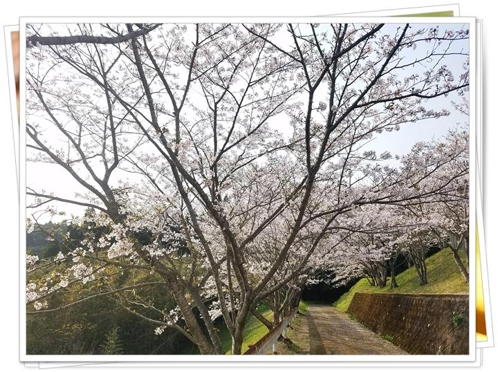 鹿児島桜2-3