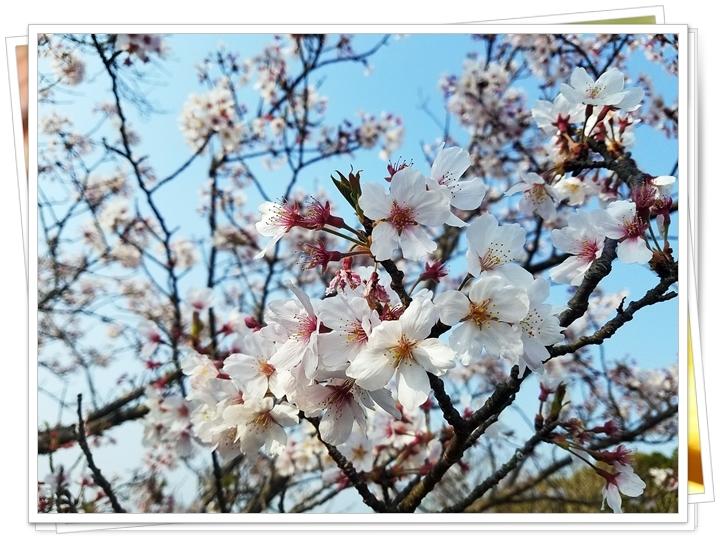鹿児島桜2-4