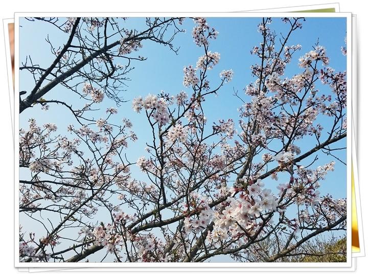 鹿児島桜2-5