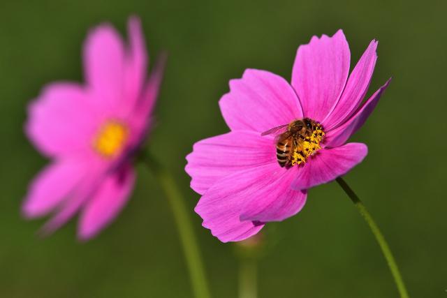 コスモスとミツバチ(1)