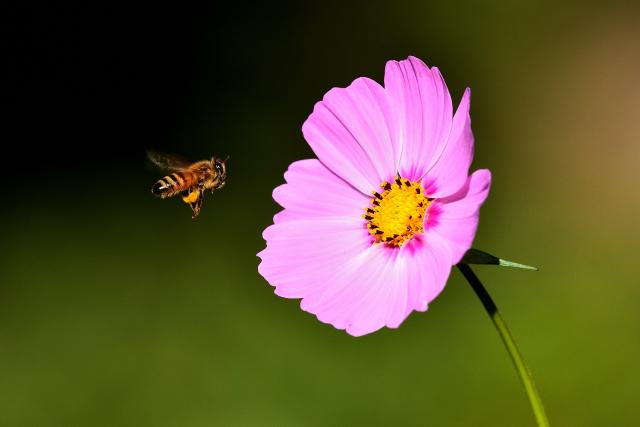 コスモスとミツバチ(2)