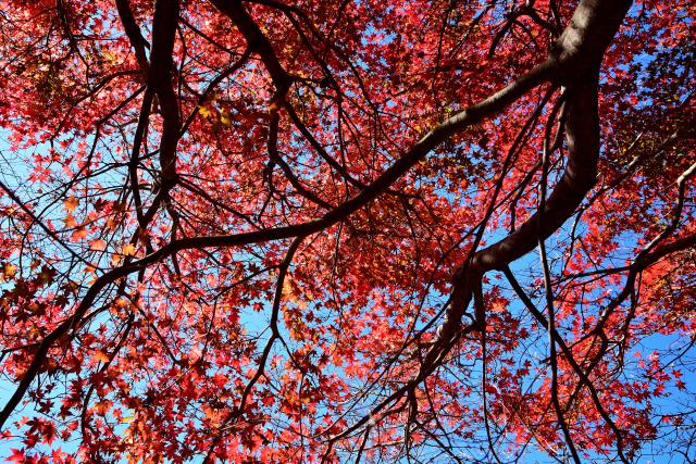 福壽山の紅葉(3)