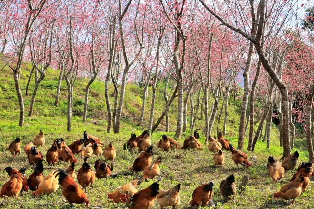 地鶏のいる風景(3)