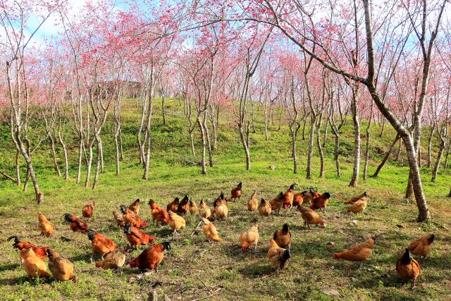 地鶏のいる風景(4)